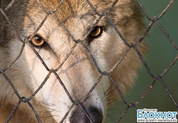 В Краснодарском крае мужчина попробовал скрестить волка и собаку