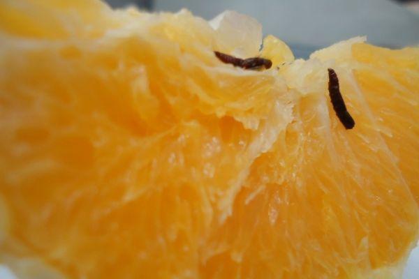 В Новороссийском порту запретили ввоз червивых апельсинов из Египта