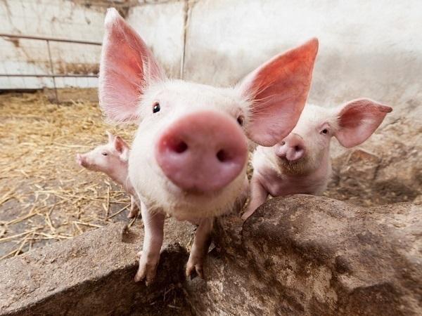 На Дон завезли зараженную свинину кубанской фирмы «Агрокомплекс»
