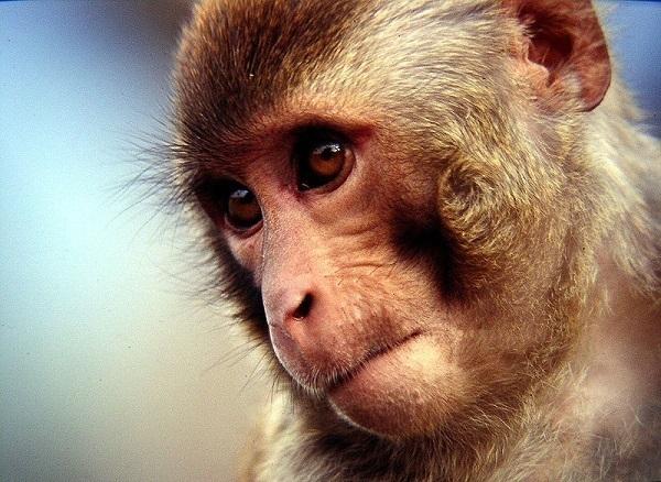 На Кубани ученые создадут искусственные органы для обезьян