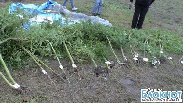 В Краснодарском крае кусты конопли выращивали под видом малины