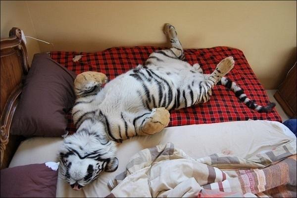 ВНовороссийске мужчина держал дома четырех месячного тигренка