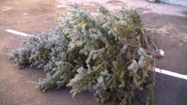 Двое жителей Белореченского района  украли елку из центрального парка