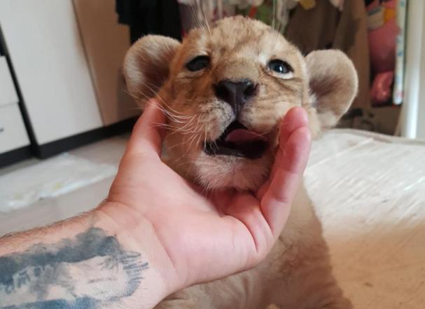 Зверье мое: львенка для туристов Краснодара выставили на продажу