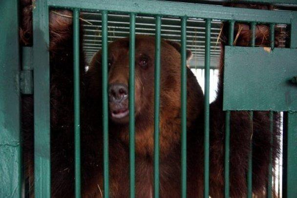 Кавказский заповедник не сможет приютить двух сочинских медведей