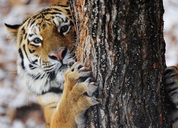 Зверье мое: кроме таинственного краснодарского парка никто не взял тигра Амура