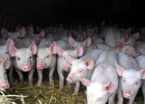 Африканскую чуму свиней вновь зафиксировали в Красноармейском районе
