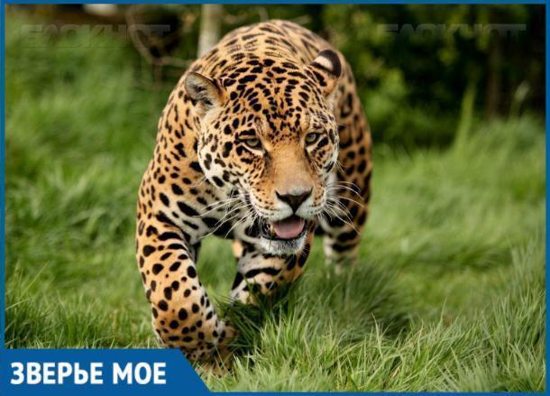 Молодого леопарда переселят из Геленджика в Сочи