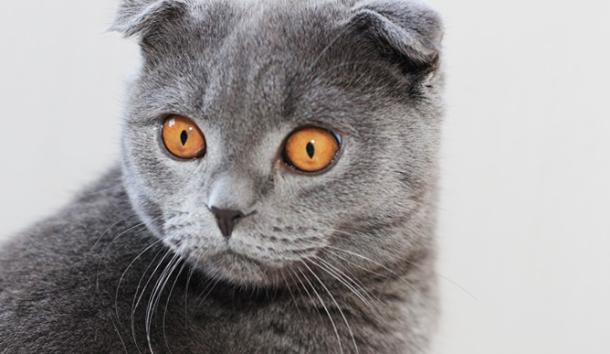 Кошки шотландской породы покорили сердца Краснодарцев