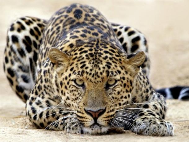 Особым талисманом Всемирных военных игр в Сочи стал леопард