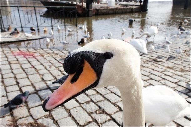 Кубанские экологи: «Спасенного лебедя хотели съесть»
