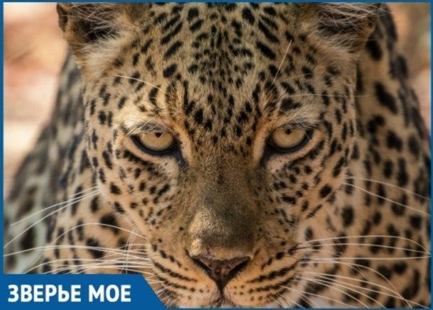 В Сочи поселятся шведские леопарды