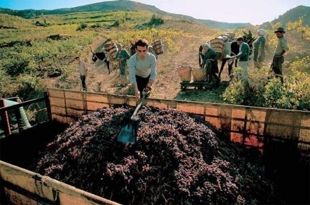 Кубанские аграрии собрали 46,3% винограда отвсего, собранного вгосударстве