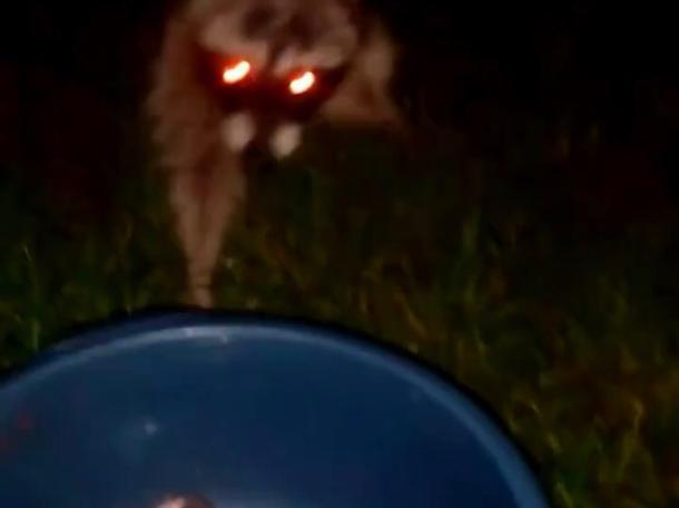 Енот-воришка попал на видео в Солнечном острове в Краснодаре