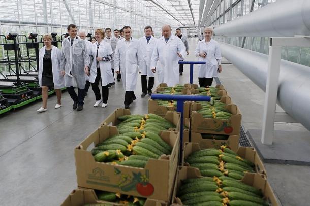 В теплицах Белореченска вырастили более 7 тысяч тонн овощей