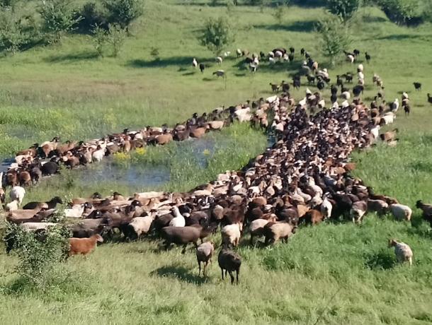 Отчаявшиеся фермеры Абинска готовят шествие домашнего скота к зданию администрации