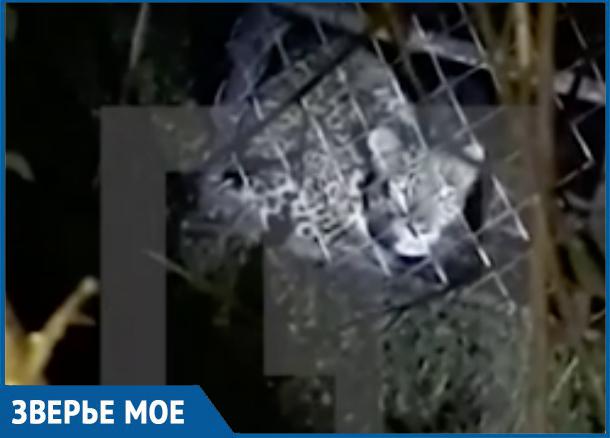 В Абхазии попался в ловушку леопард, пропавший год назад в Сочи