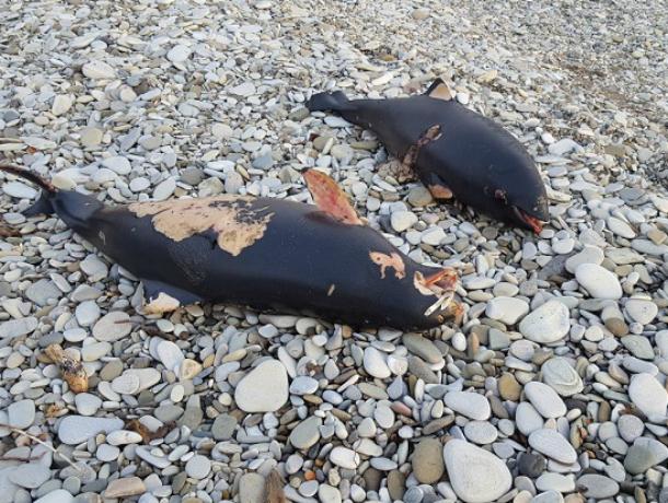 Грязные заводы спровоцировали массовую смерть дельфинов в Туапсе