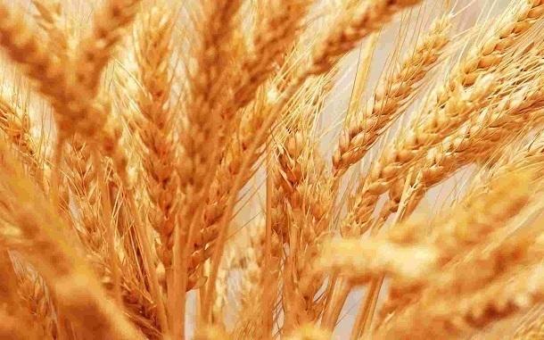 Россельхознадзор опроверг заявление СМИ о заражении кубанского зерна