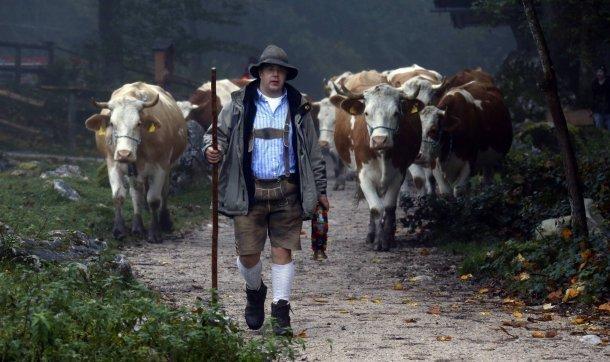 Пастух скоровой заблудились вкубанском лесу