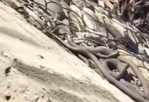 Клубок змей выполз на одну из набережных в Краснодаре
