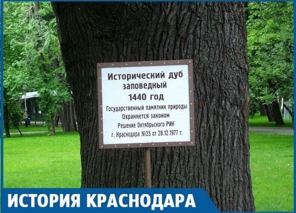 Дуб-колдун Краснодара стал свидетелем заселения города - ему 578 лет
