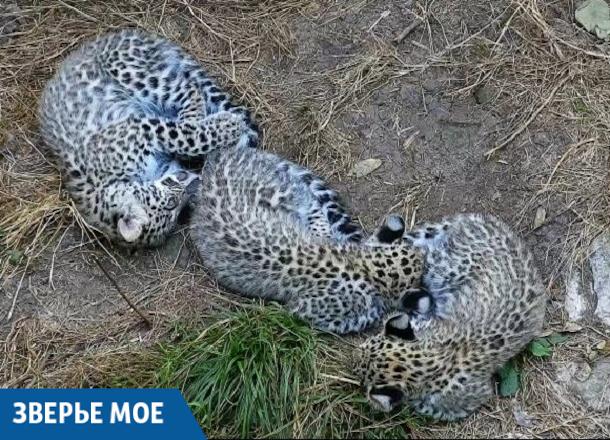 Детенышам леопарда в Сочи придумали имена