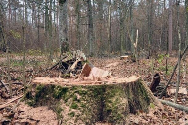 ВКурганинском районе мужчина срубил трехсотлетний дуб надрова