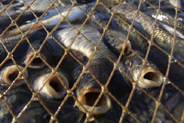 Браконьер из Приморско-Ахтарска выловил более 10 полутораметровых рыб