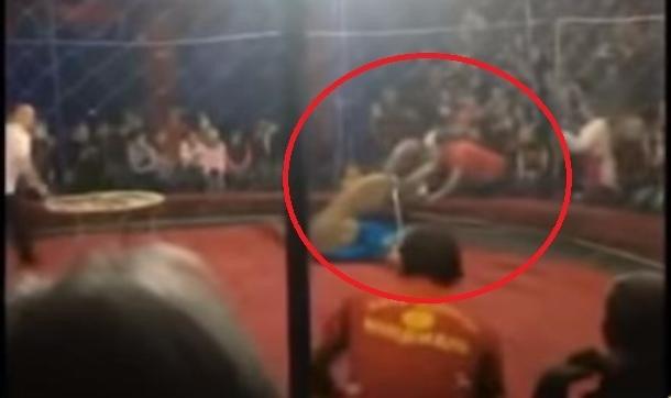 Львица напала на 4-летнюю девочку в цирке на Кубани