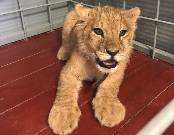 ВАнапе генпрокуратура изъяла упляжных фотографов львенка ипопугаев
