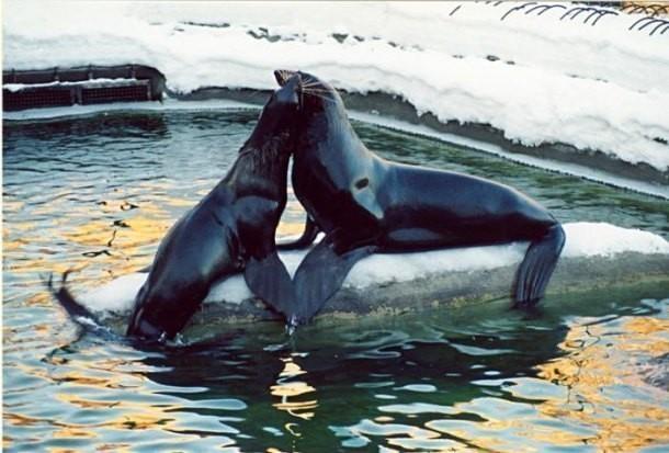 Изанапского дельфинария убежал морской котик