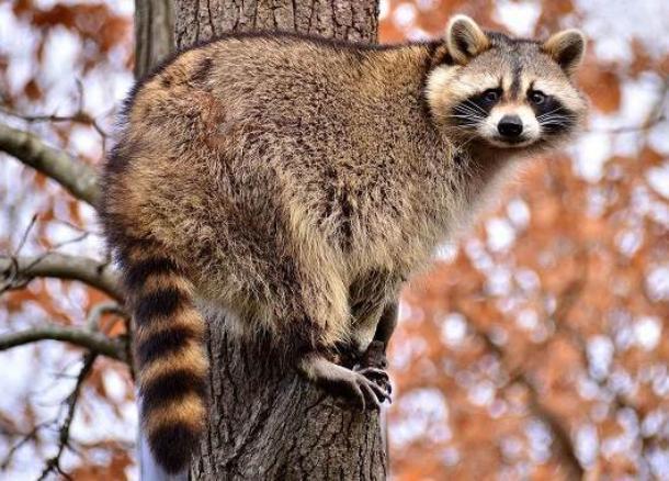 Зверье мое: енот-полоскун как типичный представитель фауны Кубани