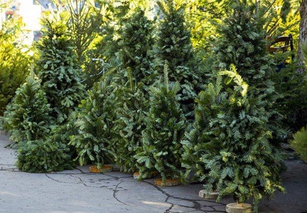 На Кубани перед новым годом откроют 370 елочных базаров