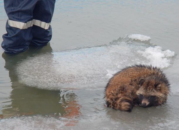 Зверье мое: енота-путешественника на морской льдине отловили краснодарские спасатели