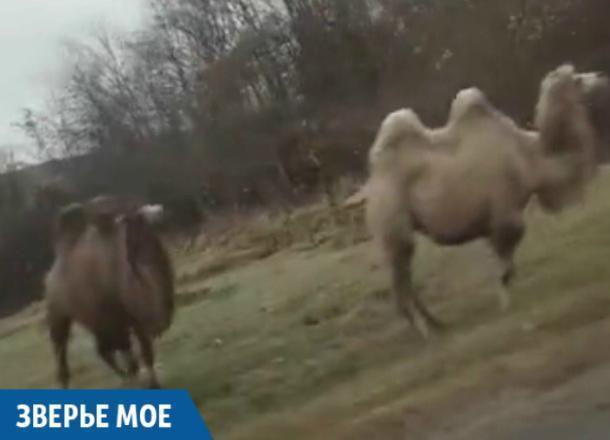 СМИ: стадо верблюдов перекрыло трассу в Краснодарском крае