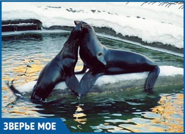 Сбежавший из Анапы морской котик проплыл 640 км, чтобы попасть в Грузию