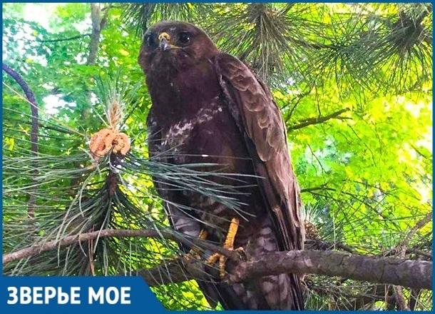 Заклеванного воронами орла спасли в Краснодарском крае