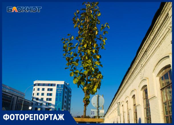 Груша, которую еще нельзя скушать: как посадили деревья в центре Краснодара