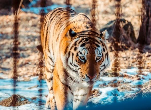 Зверье мое: путешествие тигра Амура на Кубань - в работе зоопарков нашли массу нарушений