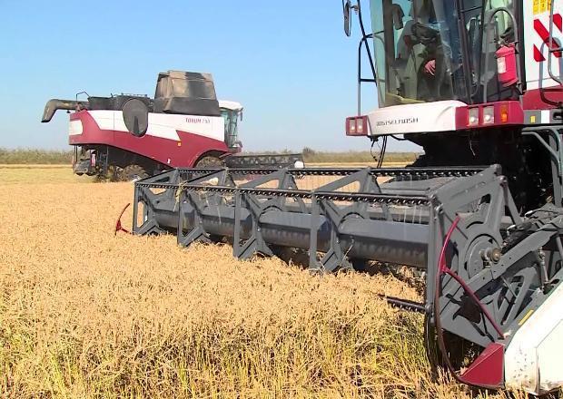 В Краснодарском крае уберут около 117 тысяч га рисовых полей