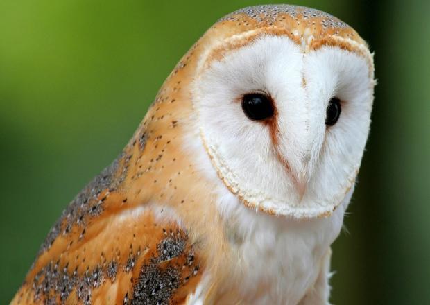 Редкую сову в корыстных целях использовал фотограф в Сочи