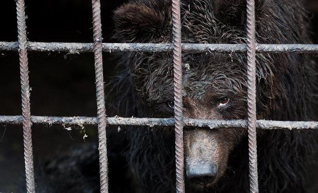 В Сочи у грузинского ресторана отобрали двух медведей-алкоголиков