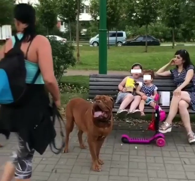 «Бойцовские» собаки без намордников напугали краснодарок, но получили поддержку зоозащитников