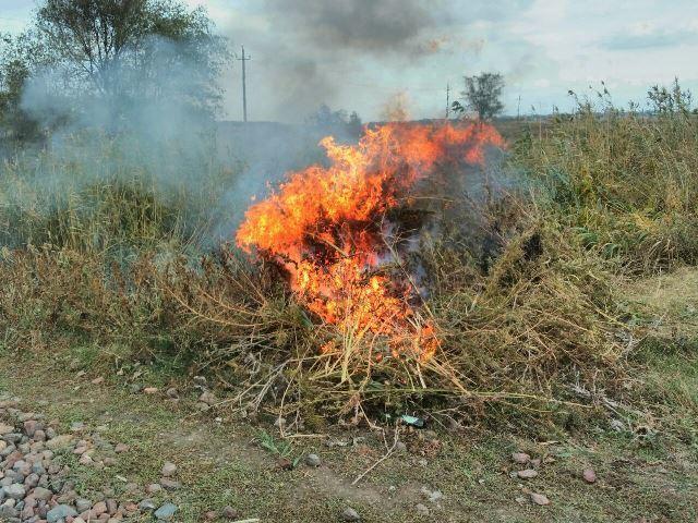 НаСтаврополье полицейские уничтожили неменее 18 тыс. кустов конопли