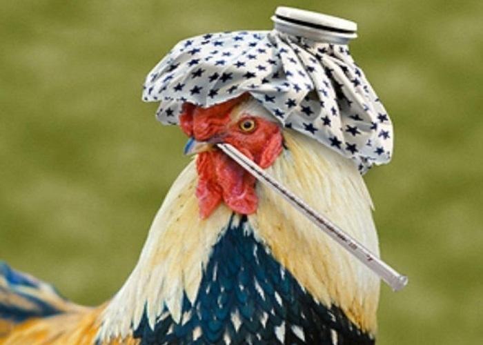 На Кубани запретили ввоз немецкой птицы и яиц из-за гриппа  H5N2
