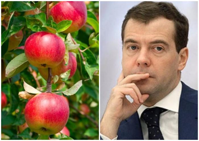 «Двоюродный брат» Медведева занялся выращиванием яблок наКубани