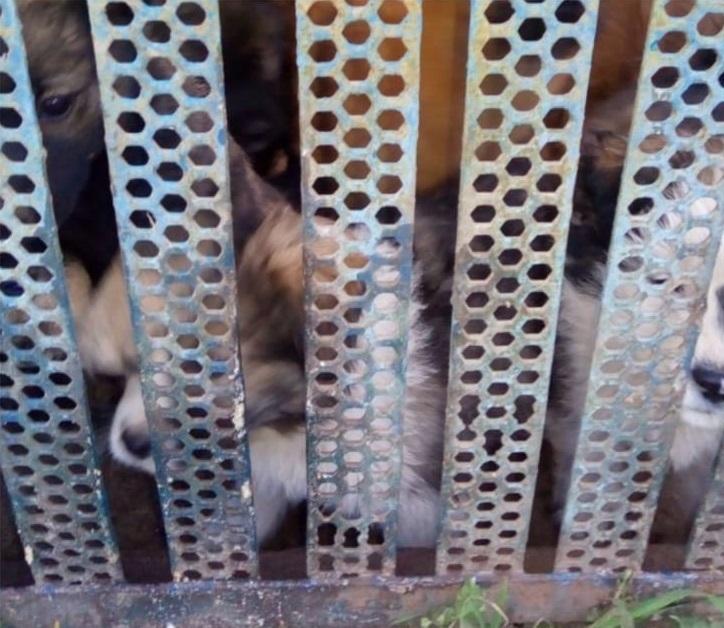 Собаки начали убивать друг друга на третий год заточения за забором в Краснодаре