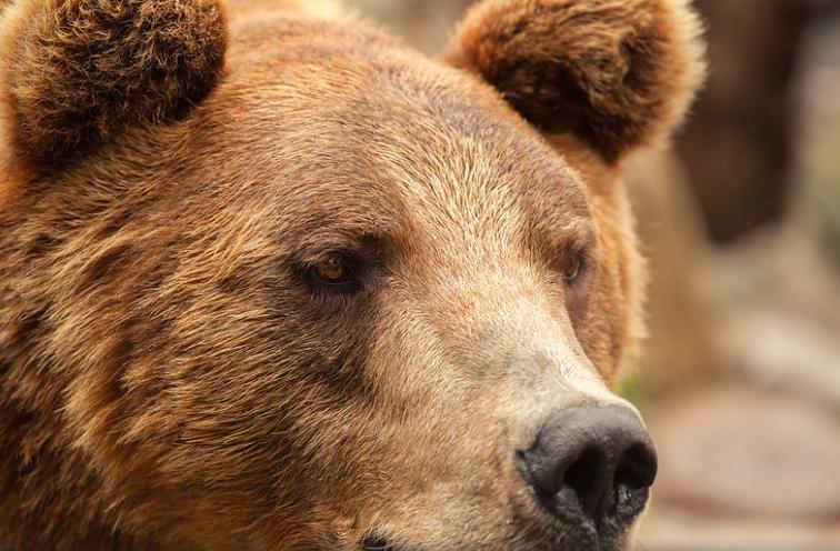 Два случая встречи туристов с медведями зафиксировали в Сочи