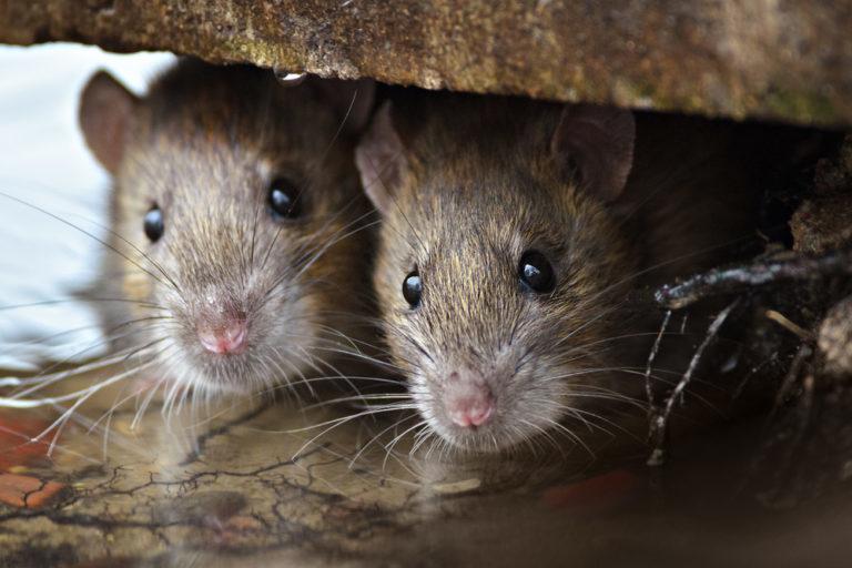 «Шанхайских» крыс показал краснодарец знакомой-«понаеху»